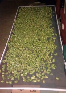 Hop Cones Drying