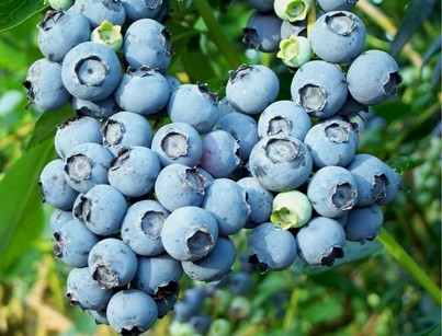 Blueberry Ale
